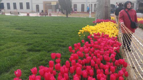 Hamparan Bunga Tulip