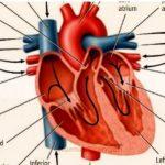 Apa saja Jenis Penyakit jantung, Gejala, penyebabnya bagi awam- info sehat Mysmartdetox